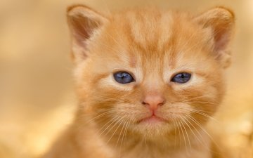 кот, мордочка, усы, кошка, взгляд, котенок, малыш, рыжий