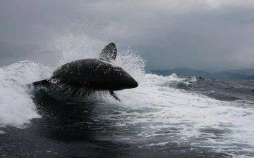 море, касатка, океан, киты