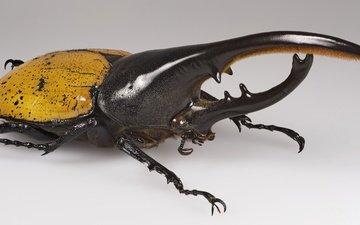 природа, жук, насекомое, животные, жук-геркулес