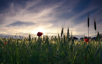 the sky, flowers, clouds, the evening, the sun, nature, sunset, mood, landscape, field, village, maki, home, mac, ears, rye, cereals