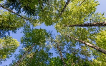 the sky, trees, birch, summer