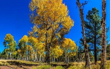 the sky, trees, forest, birch, autumn, pine, aspen