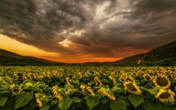 the sky, flowers, clouds, hills, nature, sunset, landscape, field, sunflowers