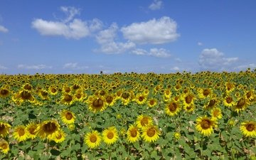 the sky, flowers, clouds, field, sunflower, sunflowers