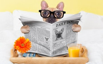 glasses, dog, humor, newspaper, glass, pug, juice