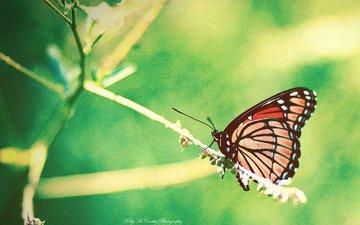 насекомое, бабочка, крылья, размытость, растение, okelly mccarthy