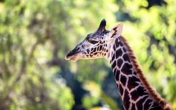окрас, жираф, шея