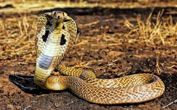 змея, рептилия, стойка, от, кобра, аспид