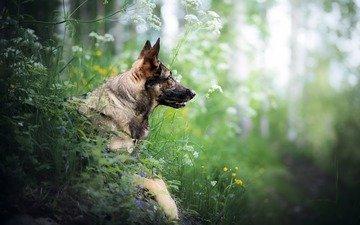 face, grass, dog, wildflowers, german shepherd, shepherd, bokeh