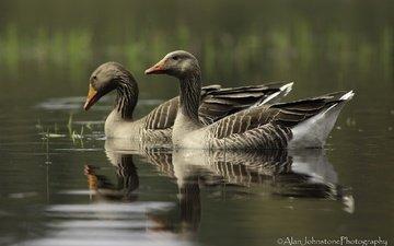 озеро, отражение, птицы, клюв, перья, гуси, плывут