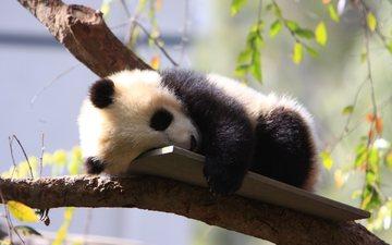 дерево, панда, сон, зоопарк, детеныш, дикие животные