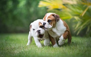 grass, a couple, the game, puppies, dogs, english bulldog