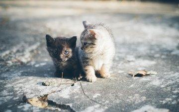 мордочка, усы, взгляд, парочка, кошки, малыши, котята