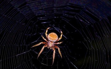 макро, черный фон, паук, паутина
