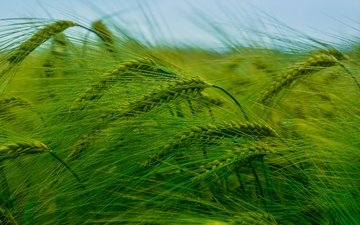 природа, поле, колосья, пшеница