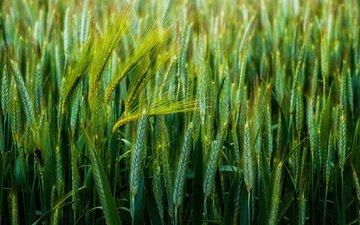 field, ears, wheat