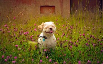 flowers, clover, field, summer, dog, language, shih tzu, e b