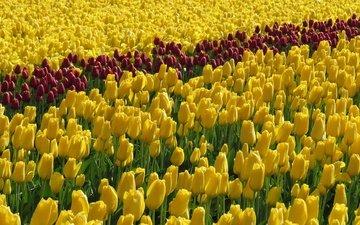 flowers, field, tulips, yellow