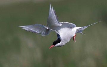 полет, крылья, птица, клюв, хвост, полярная крачка