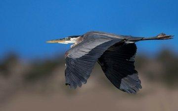 полет, крылья, птица, клюв, цапля