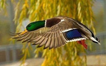 полет, крылья, птица, клюв, перья, утка, селезень