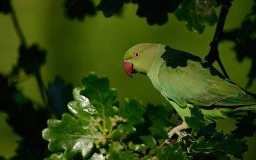 ветка, дерево, листья, птица, клюв, перья, попугай, дуб, индийский кольчатый попугай, ожереловый попугай крамера