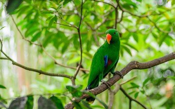 branches, bird, beak, feathers, parrot, eclectus parrot