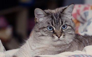 eyes, portrait, cat, look
