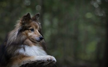 портрет, собака, животное, пес, шелти, шетландская овчарка