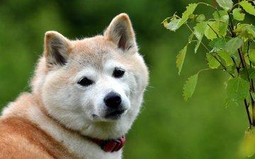 portrait, look, dog, akita inu, shiba inu, the akita inu.