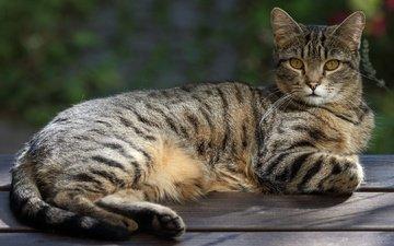 поза, кот, мордочка, усы, кошка, взгляд, лежит