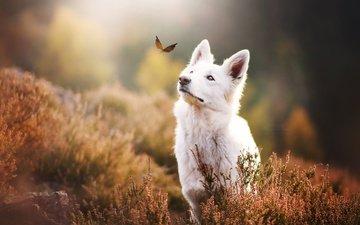 природа, бабочка, собака, животное, пес, травы, kristýna kvapilová, белая швейцарская овчарка