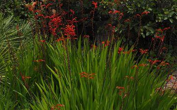 цветы, природа, цветение, сад, стебли, растение, крокосмия