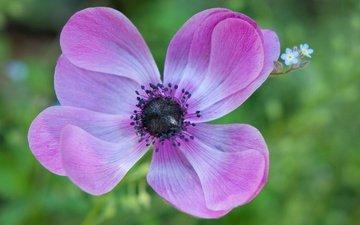 природа, цветок, лепестки, анемона, ветреница