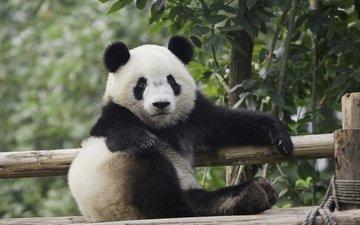 природа, дерево, листья, панда, медведь, животное