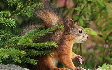 природа, елка, листья, хвоя, ветки, животное, белка, грызун