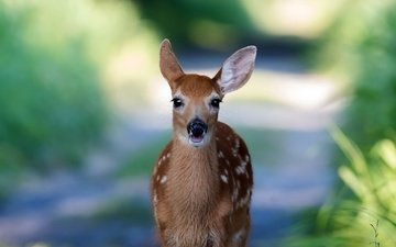 nature, deer, background, muzzle, look, roe, fawn