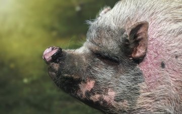 face, nature, background, pig