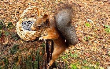 природа, хвоя, осень, корзина, животное, белка, орех, пень, семечки, грызун