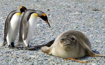 nature, stones, animals, birds, antarctica, seal, penguins