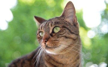 природа, кот, мордочка, усы, кошка, взгляд, зеленоглазый