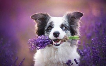 природа, лаванда, собака, щенок, букет, животное, травы, бордер-колли, alicja zmysłowska