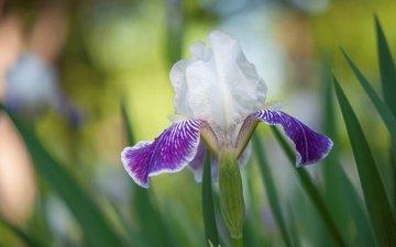 природа, цветок, лепестки, ирис, касатик