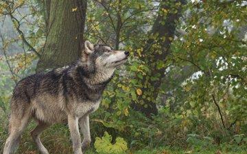 природа, лес, животное, волк