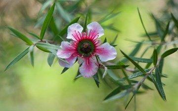 природа, листья, цветок, лепестки, лептоспермум