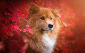 nature, leaves, branches, autumn, dog, animal, the eurasier, birgit chytracek