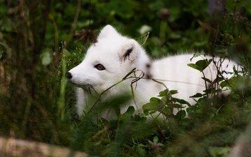 природа, листья, взгляд, лисица, мордашка, песец, арктическая лиса