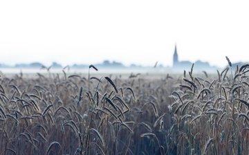 природа, туман, поле, колосья, пшеница