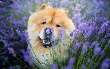 природа, поле, лаванда, собака, животное, пес, травы, чау-чау