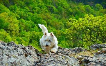 природа, мордочка, кусты, взгляд, собака, щенок, собачка, вест-хайленд-уайт-терьер